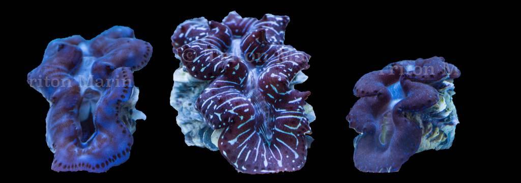 Clams/Mollusks