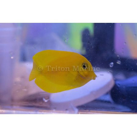 Lemon Tang (Acanthurus sp.)