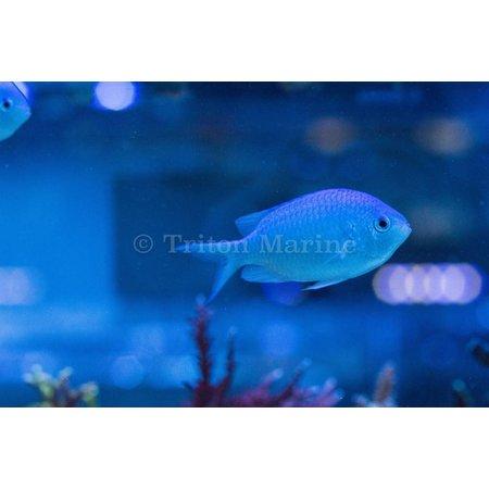 Blue/Green Chromis (Chromis viridis)