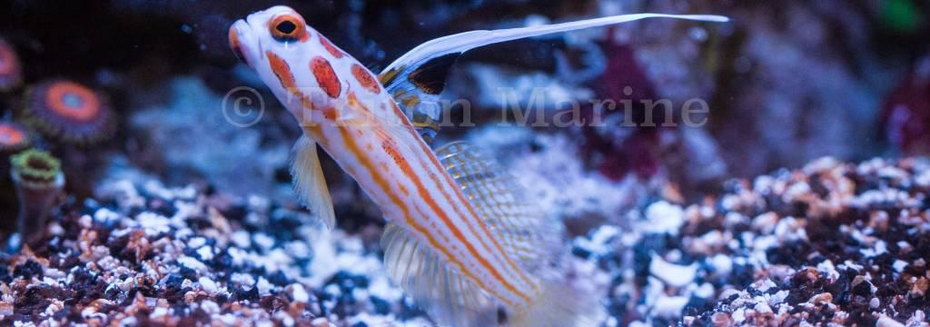 Gobies/Dartfish