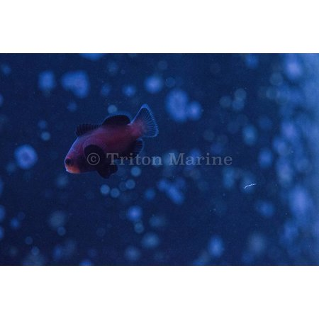 Chocolate Midnight Clownfish (Amphiprion ocellaris) Captive Bred G