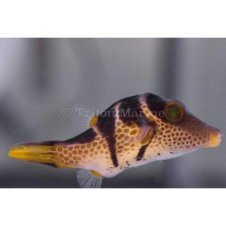 Saddle Valentini Puffer (Canthigaster valentini)