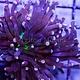 TMA Purple/Neon Center Torch - Aussie