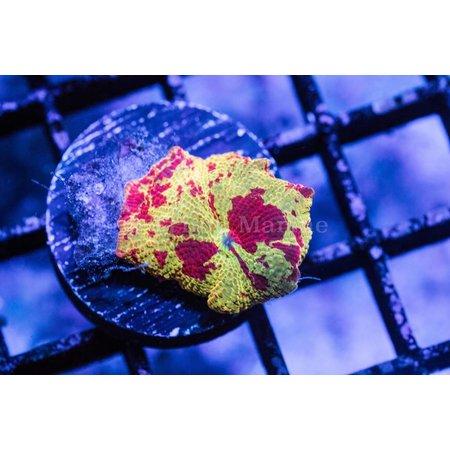 Eclectus Jawbreaker Mushroom