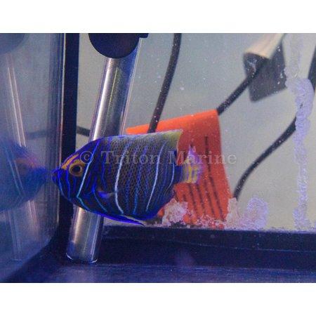 Blueface Angelfish (Pomacanthus xanthometopon) Changing G