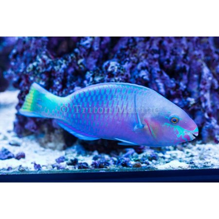 Quoy's Parrotfish (Scarus quoyi)