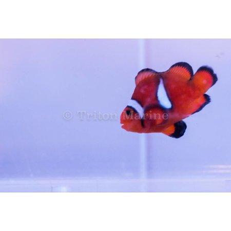 Stubby Ocellaris Clownfish (Amphiprion ocellaris) Captive Bred