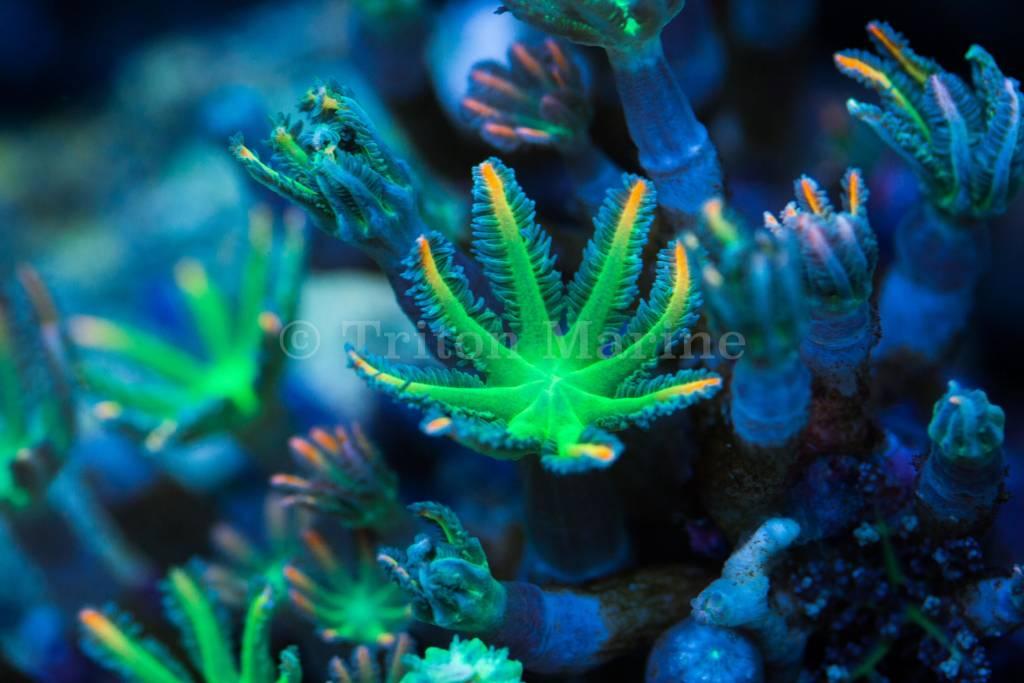 TMA Green/Orange Clove Polyps Frag