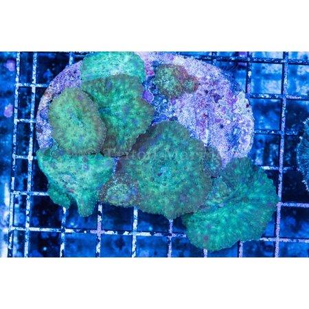 Discosoma Mushroom Rock