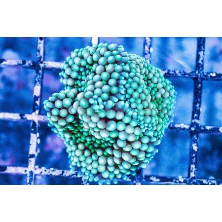 Green Ricordea Mushroom
