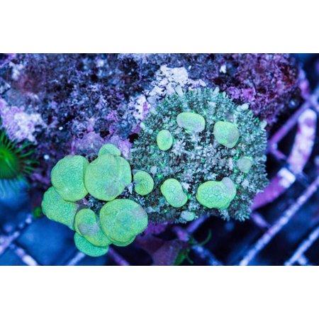 TMA Rhodactis Bounce Mushroom Rock