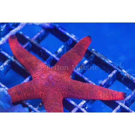 Red and Black Sea Star (Fromia milleporella)