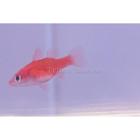 Red Stop Light Cardinalfish (Fowleria flammea)