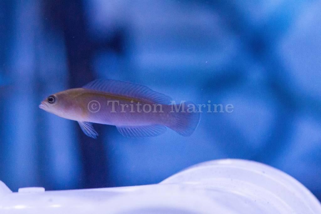 Blue Lined Dottyback (pseudochromis cyanotaenia) G