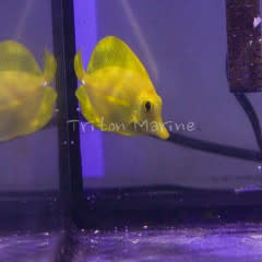 Yellow Tang  (Zebrasoma flavescens) G