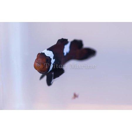 Chocolate Lightning Ocellaris Clownfish (Amphiprion ocellaris) Captive Bred