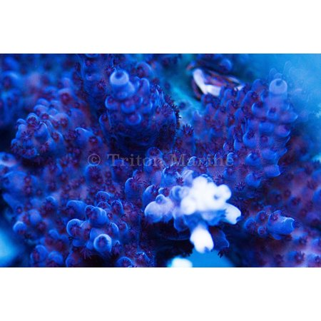 Ice Blue Tort Frag