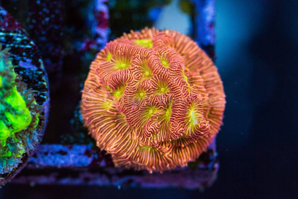 JF Orange Leptoseris