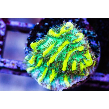 JF Lime Light Hydnophora