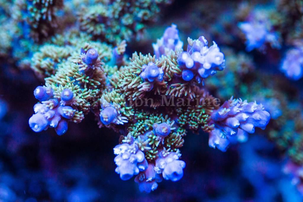 TMA Blue Fluff Acro Frag