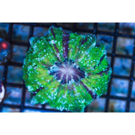 TMA Aussie Acanthophyllia