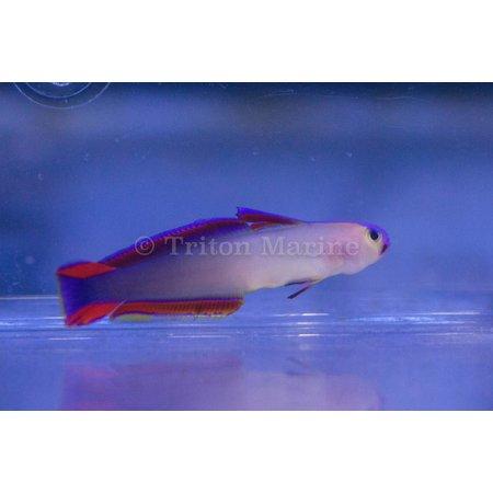Purple Firefish (Nemateleotris decora)