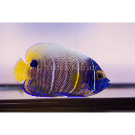 Blueface Angelfish (Pomacanthus xanthometopon) Changing G