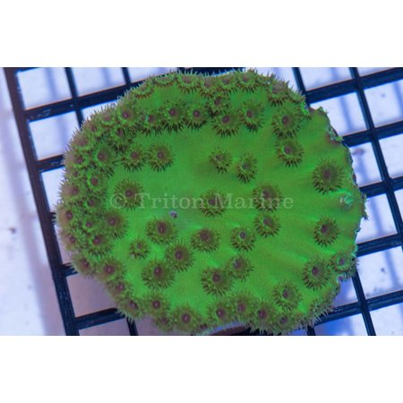 Pagoda Cup Coral ( Aussie)
