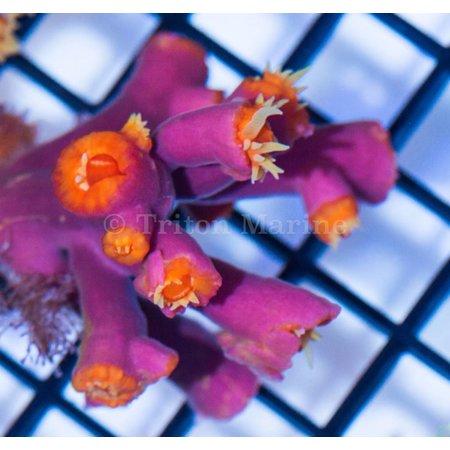 Sun Coral ( Dendrophyllia ) Aussie