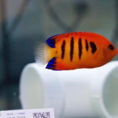 Flame Angelfish (Centropyge loricula)