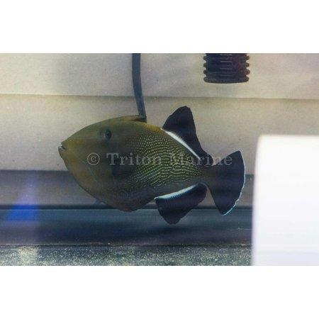 Hawaiian Black Triggerfish (Melichthys niger)