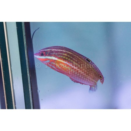 Red Lined Wrasse (Halichoeres biocellatus) Sub Adult