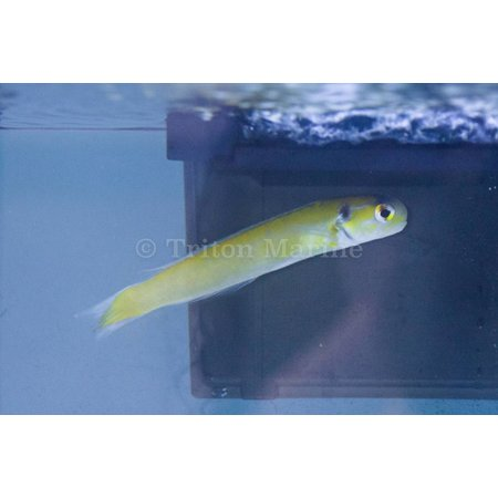 Yellow Chameleon Tilefish (Hoplolatilus luteus)