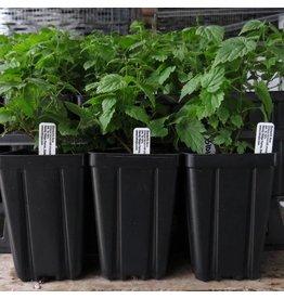 Hop Plant - Cluster