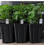 Hop Plant - Zeus
