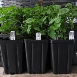 Hop Plant - Triple Pearl