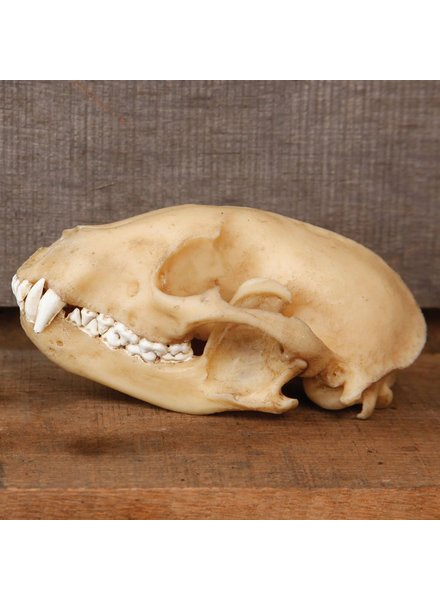 HomArt Raccoon Skull - Resin