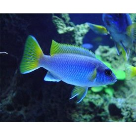 Accei Cichlid