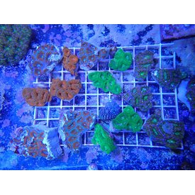 Aus. Acan Lord Frags