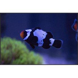 ORA Premium Black Snowflake Clownfish