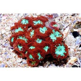 "Blastomussa Coral  3-4"""