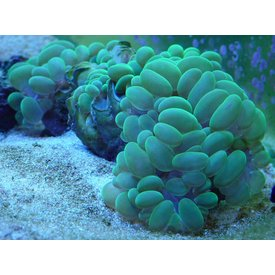 Bubble Coral, Green