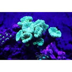 Candy Cane Coral Frag