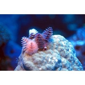 Christmas Tree Worm on Rock