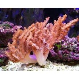 Colt Coral Aquacultured