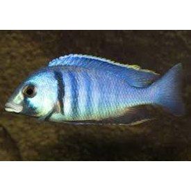 Electric Blue Haplichromis