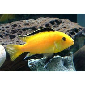Electric Yellow Cichlid