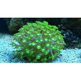 Flower Pot Coral, Green 3-5