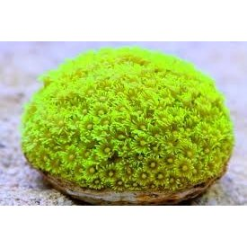 Flowerpot Coral, Yellow 3-5