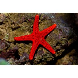 Fromia Red Starfish